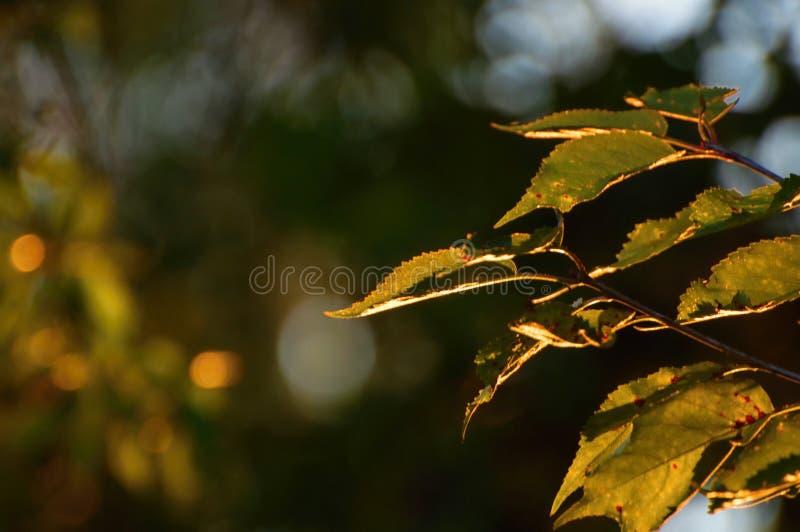Złoty liść na ciemnym tle obraz stock