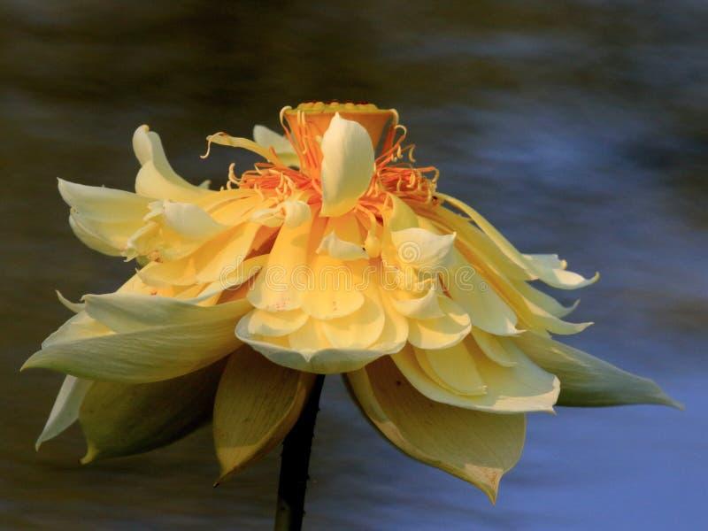 Złoty lotos obraz royalty free