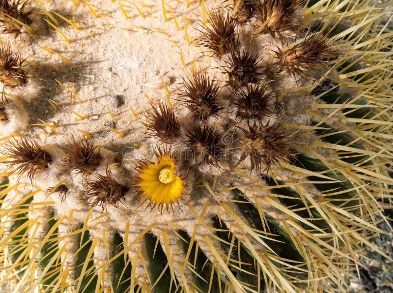 Złoty Lufowego kaktusa okwitnięcie fotografia stock
