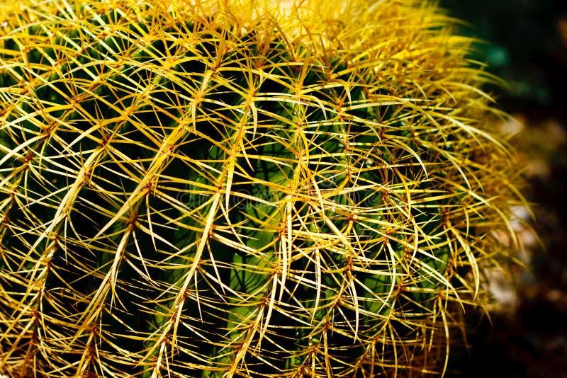 złoty lufowy kaktus fotografia stock