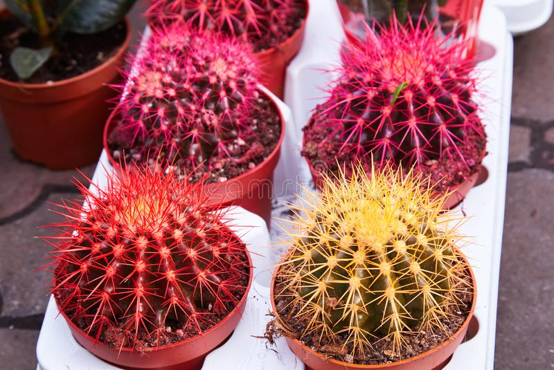Złoty Lufowy kaktus, Echinocactus Grusonii roślina fotografia royalty free
