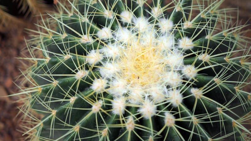 Złoty lufowy kaktus lub Echinocactus grusonii w ogródzie botanicznym Zakończenie w górę round zieleni cactaceae z kolcami Echinoc zdjęcia royalty free