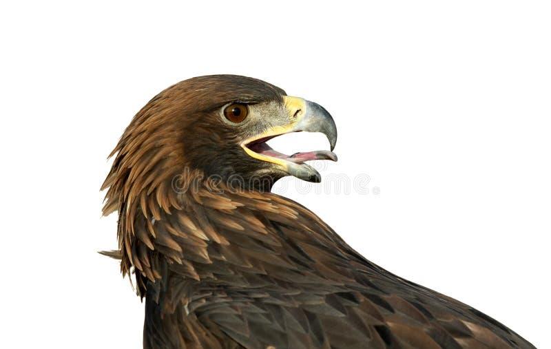 złoty odosobnione orła obraz stock