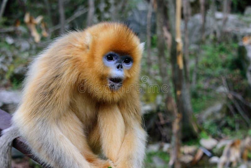 Złoty Ostrożnie wprowadzać Małpi Wrzeszczeć obraz royalty free