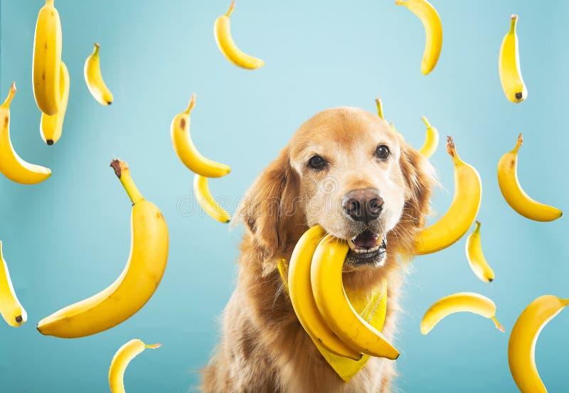 Złoty pies z wieloma żółtymi bananami obrazy royalty free