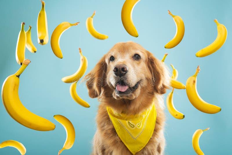 Złoty pies z wieloma żółtymi bananami obraz royalty free