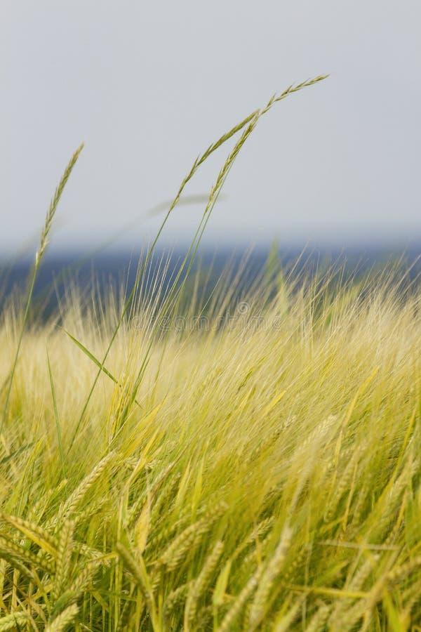 Złoty pole jęczmień obrazy royalty free