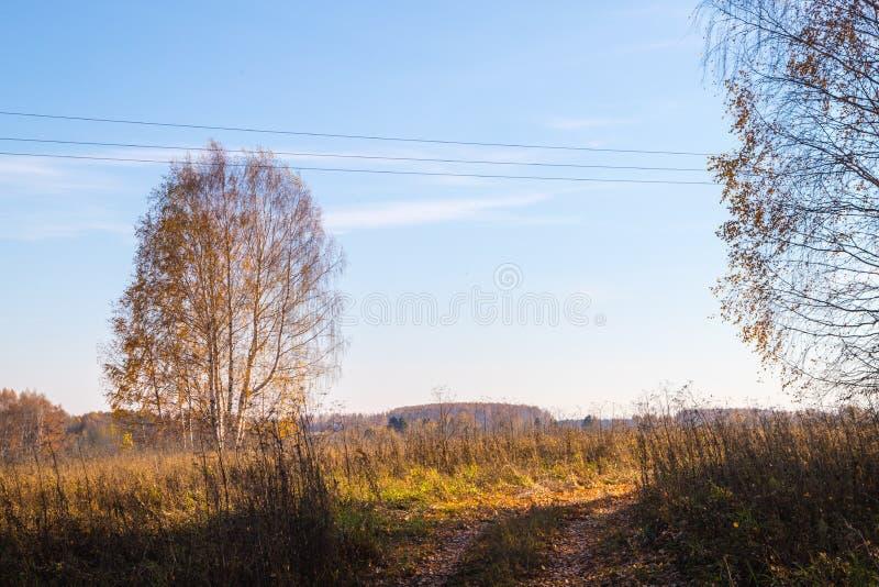 Złoty pole z trawą, brzozy drzewem w tle i głębokim niebieskim niebem, obrazy royalty free