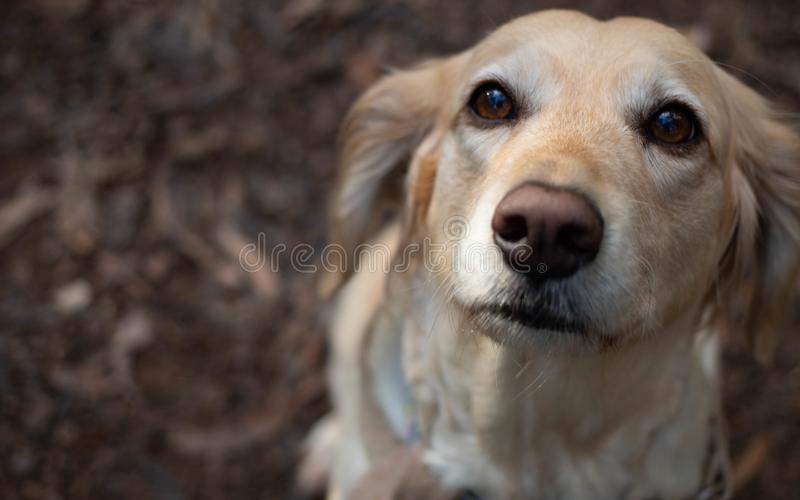 Złoty psi obsiadanie fotografia stock
