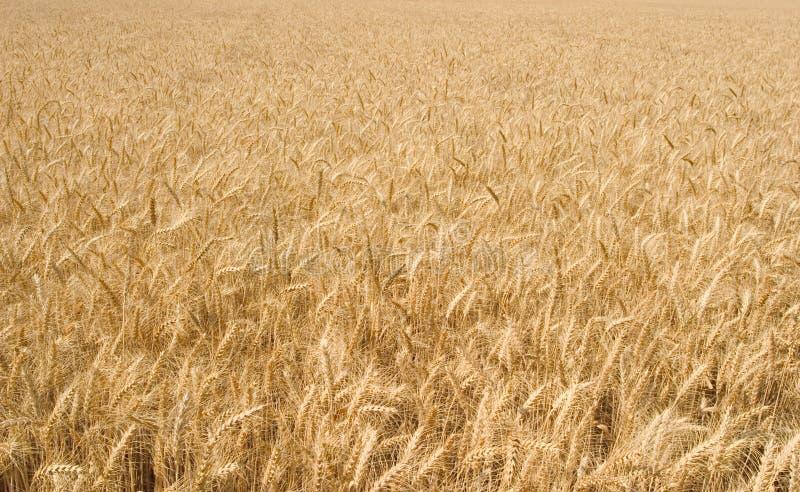 złoty pszenicy szeroki zdjęcia royalty free