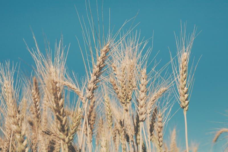Złoty pszeniczny pole, żniwo i uprawiać ziemię, obrazy stock