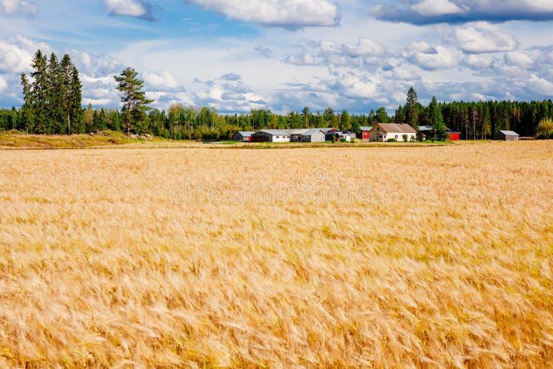 Złoty pszeniczny pole i gospodarstwo rolne w wiejskim kraju Finlandia zdjęcie royalty free