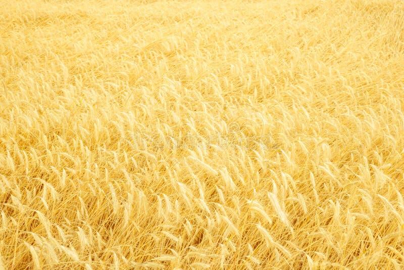 Złoty pszeniczny pole jak tło latem fotografia royalty free