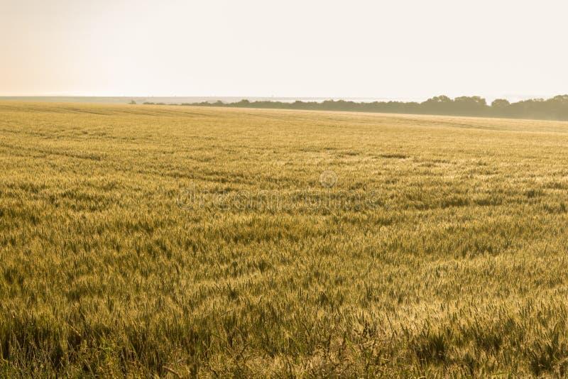 Złoty pszeniczny pole mokry ranku deszcz pod światłem słonecznym zdjęcie royalty free