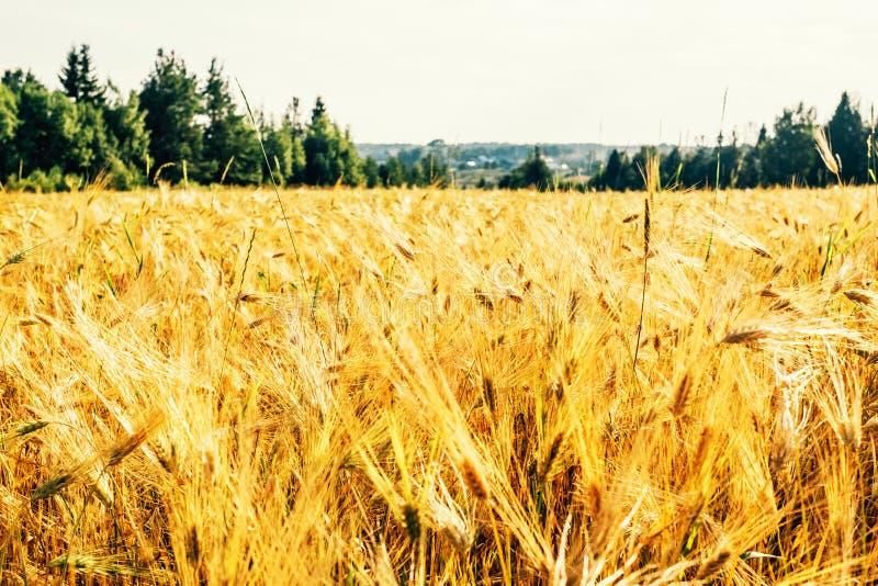 Złoty pszeniczny pole z zielonym lasem fotografia stock