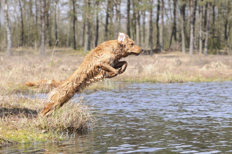 Złoty Retirever skacze w jezioro fotografia stock