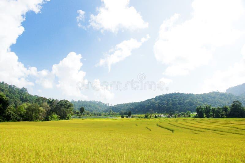 Złoty ryżu pole w halnej dolinie fotografia stock