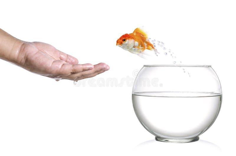 Złoty rybi doskakiwanie z fishbowl w ludzką palmę odizolowywającą na bielu i zdjęcie stock