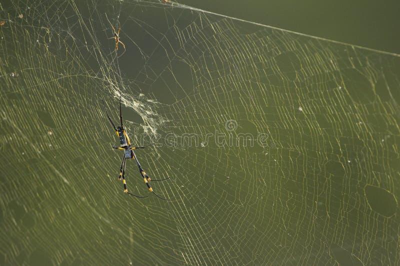 Złoty sieć pająk Południowa Afryka (nephila spp)