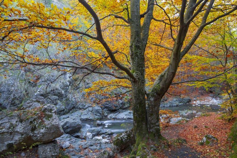 Złoty spadku ulistnienia jesieni koloru żółtego drzewo zdjęcie royalty free