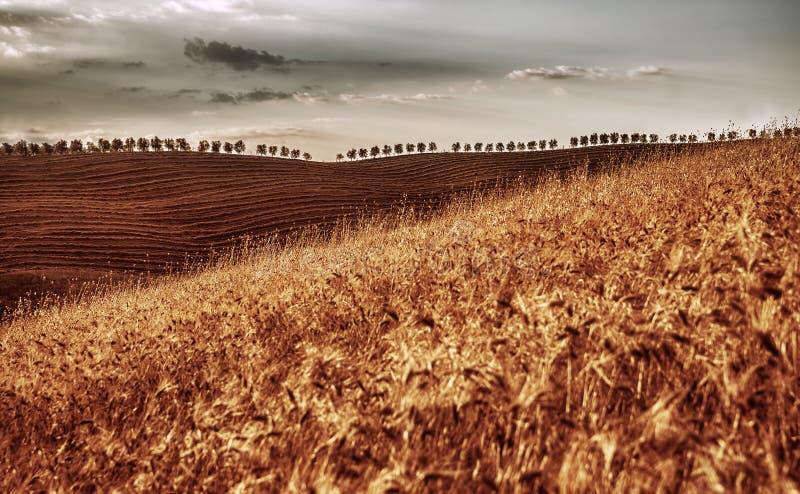 Złoty suchy pszeniczny pole obraz stock