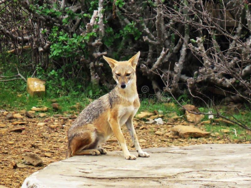 Złoty szakal, Canis aureus indicus, Kachchh biosfery rezerwa, Bhuj, Gujarat, India zdjęcia royalty free