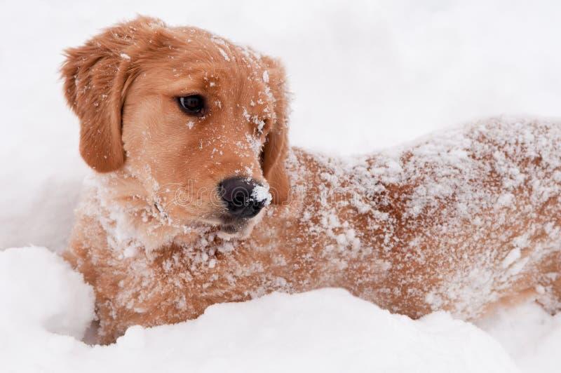 złoty szczeniaka aporteru śnieg zdjęcie stock