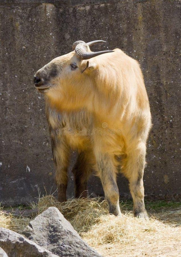 Złoty takin zdjęcie stock