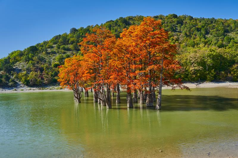 Złoty Taxodium distichum stojak w wspaniałym jeziorze przeciw tłu Kaukaz góry w spadku Jesień ośmiornica Su zdjęcie royalty free
