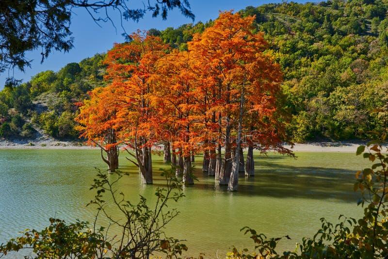 Złoty Taxodium distichum stojak w wspaniałym jeziorze przeciw tłu Kaukaz góry w spadku Jesień ośmiornica Su obrazy royalty free