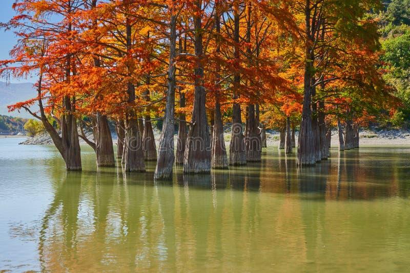 Złoty Taxodium distichum stojak w wspaniałym jeziorze przeciw tłu Kaukaz góry w spadku Jesień ośmiornica Su fotografia royalty free