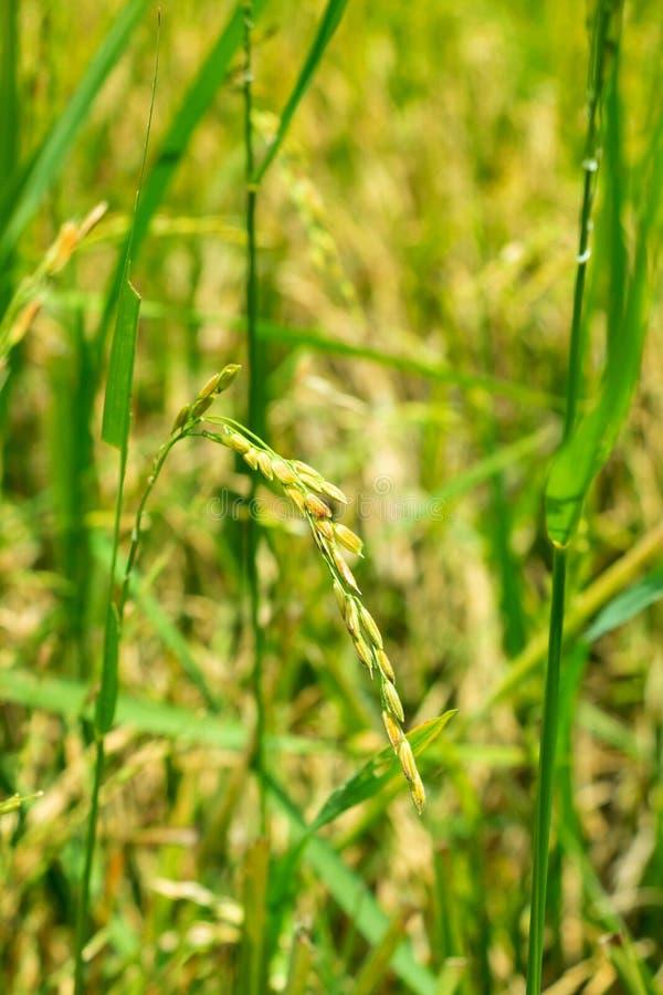 Złoty ucho ryż w poza sezonem ryżu polu pod silnym światłem słonecznym zdjęcie stock