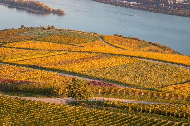 Złoty winnica wzdłuż rzecznego Rhine fotografia stock