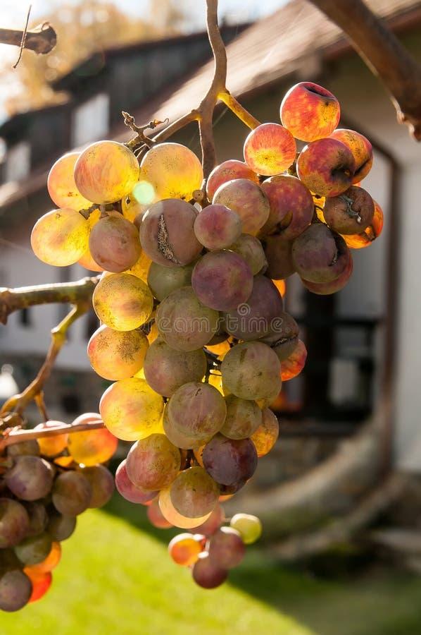 Złoty winogrono obraz stock