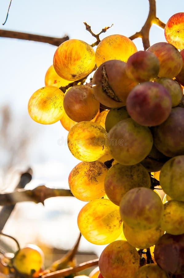 Złoty winogrono obrazy royalty free