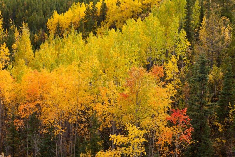 Złotych spadków osikowych drzew Yukon borealna lasowa tajga fotografia stock