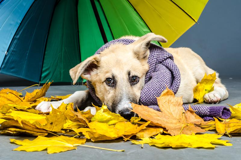 Złowrogi kundla pies z błękitnym szalikiem w żółtej jesieni le fotografia royalty free