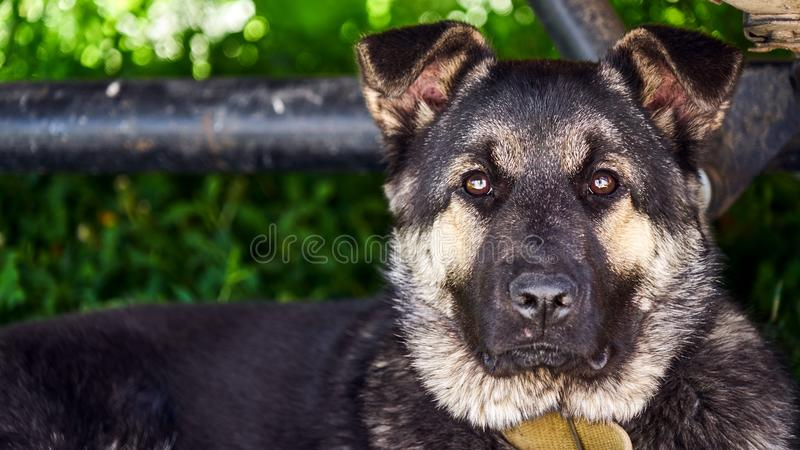 Złowrogi pies psi young Wiosna Syberia Rosja obrazy royalty free