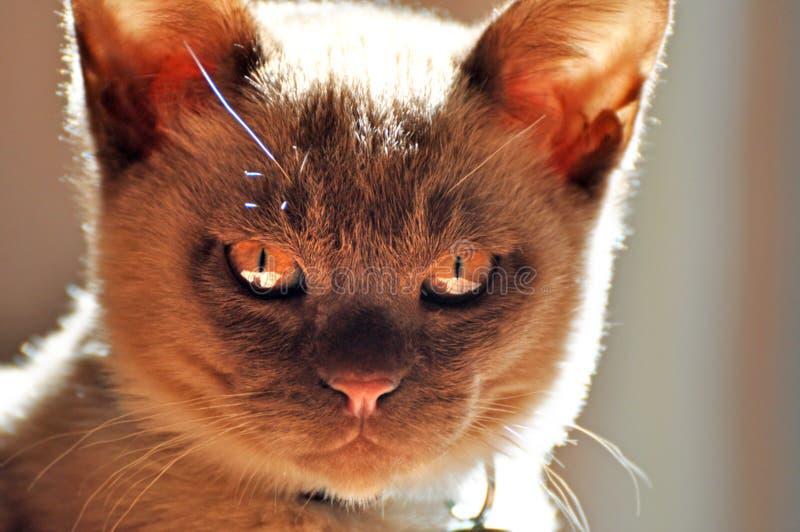 Zły mały kot fotografia royalty free