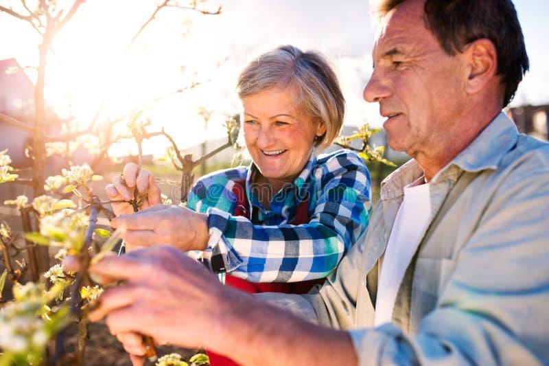 z bliska Starsza para przycina kwitnącego drzewa w pogodnym ogródzie zdjęcia stock