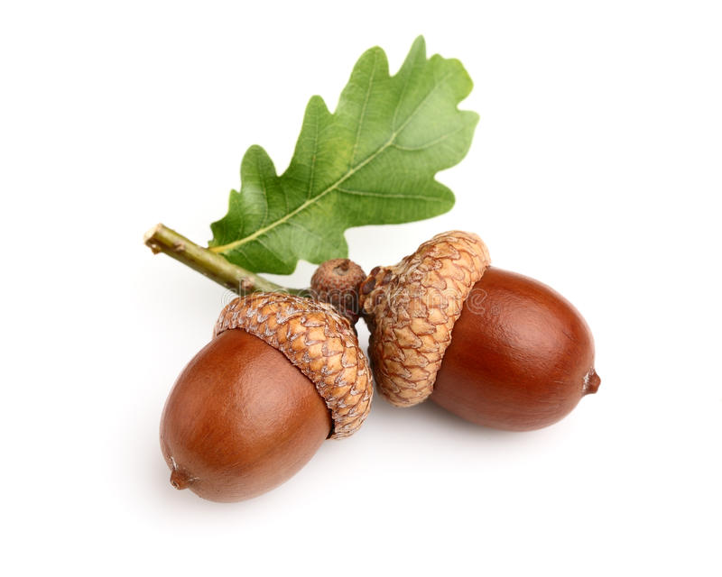 Z liść wysuszeni acorns zdjęcia royalty free