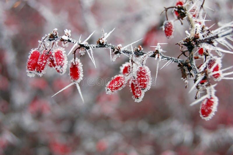 Z mrozowymi igłami czerwone jagody fotografia royalty free
