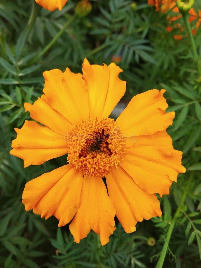 Z?ocisty kwiat fotografia royalty free