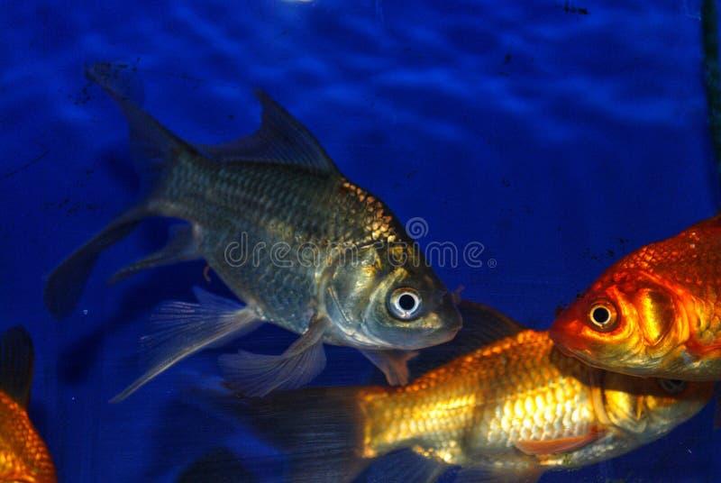 z?ota rybka fotografia stock