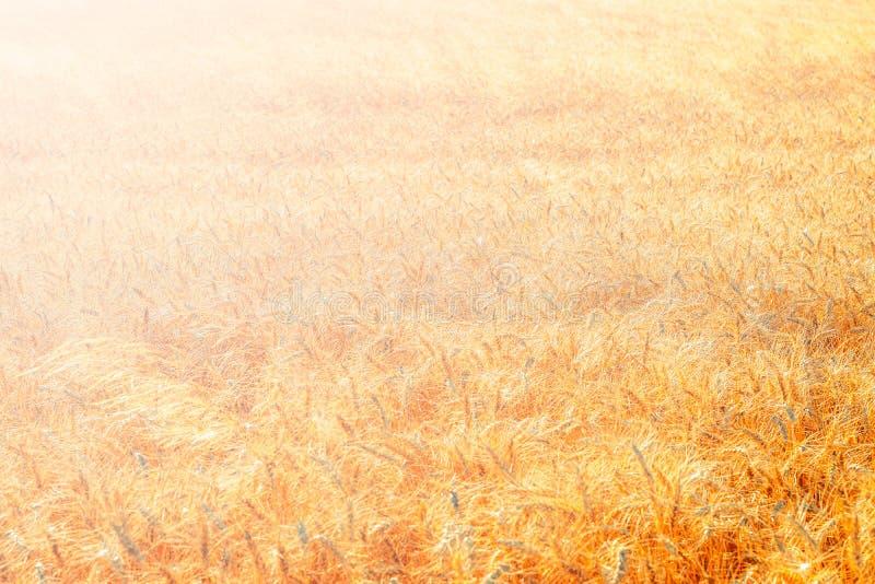 Z?oty pszeniczny pole i s?oneczny dzie? zdjęcia stock