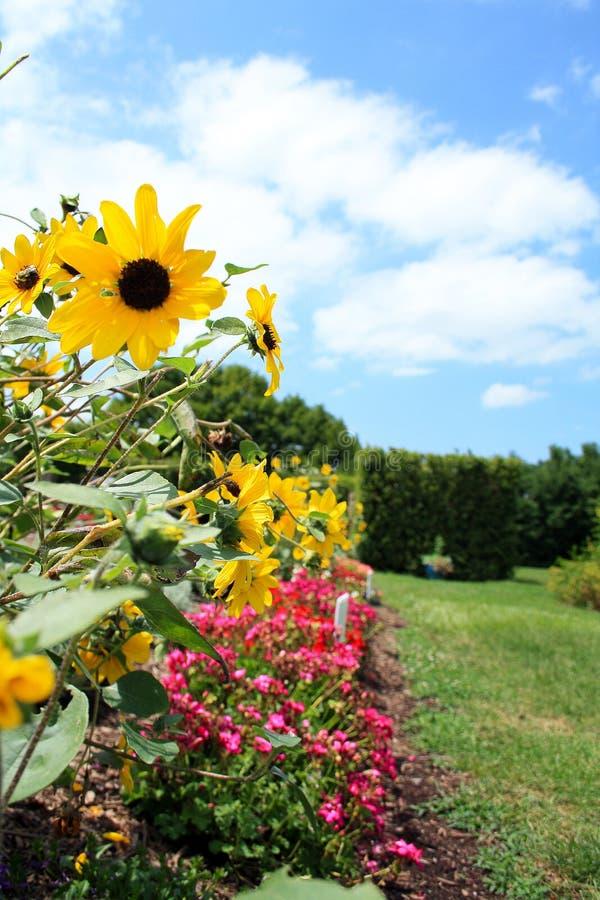Z Podbitym Okiem Susan stokrotka kwitnie w ogródzie zdjęcia stock