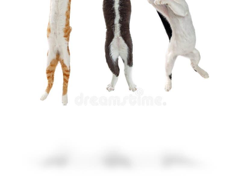 Z podnieceniem koty Skacze Up Z ramy obraz royalty free