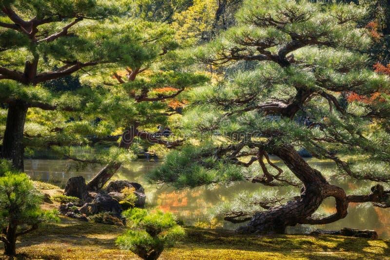 Zaświecać sosny przy Złotym pawilonem uprawiają ogródek w Kyoto, Japan fotografia royalty free