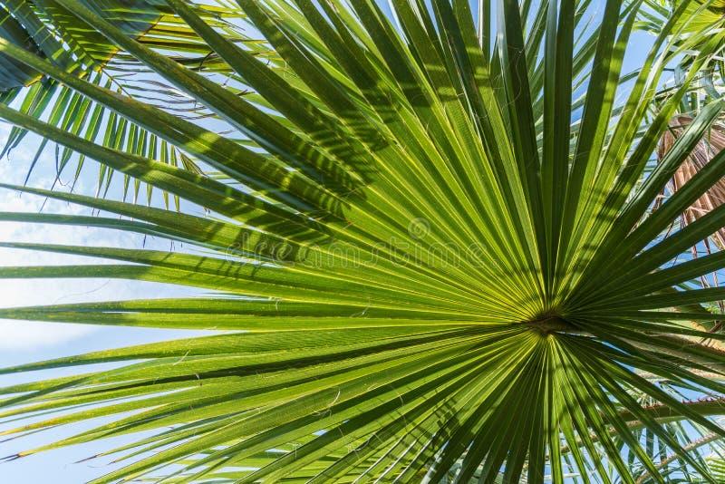 Zaświeca i ocienia na backlit cukrowym palmowym liściu i koksu liściu, naturalny tło fotografia royalty free
