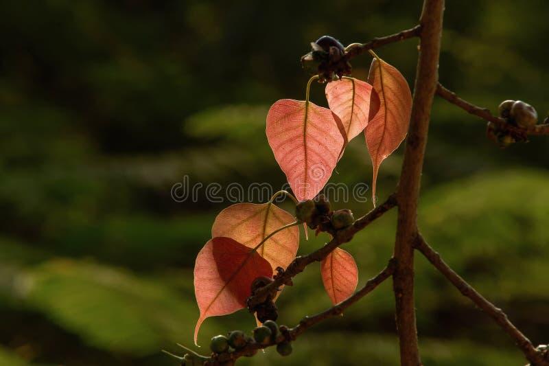 Zaświecający czuli liście peepal drzewna święta figa, Ficus religiosa seansu żyły przeciw ciemnemu tłu maharashtra fotografia stock